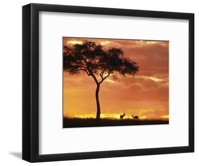 Gazelle Grazing Under Acacia Tree at Sunset, Maasai Mara, Kenya-John & Lisa Merrill-Framed Photographic Print