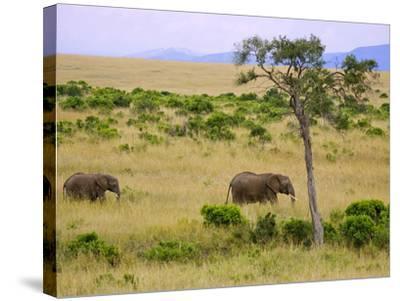 African Elephant Grazing in the Fields, Maasai Mara, Kenya-Joe Restuccia III-Stretched Canvas Print