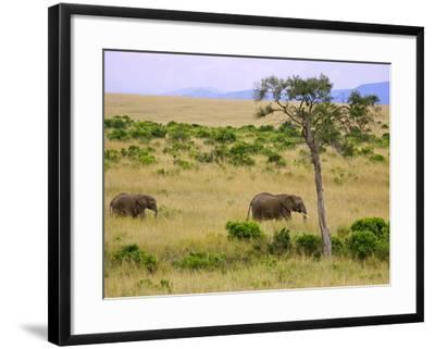 African Elephant Grazing in the Fields, Maasai Mara, Kenya-Joe Restuccia III-Framed Photographic Print
