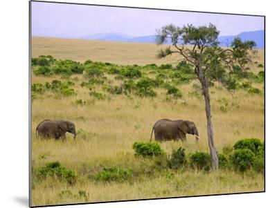 African Elephant Grazing in the Fields, Maasai Mara, Kenya-Joe Restuccia III-Mounted Photographic Print