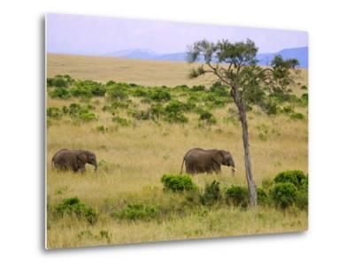 African Elephant Grazing in the Fields, Maasai Mara, Kenya-Joe Restuccia III-Metal Print