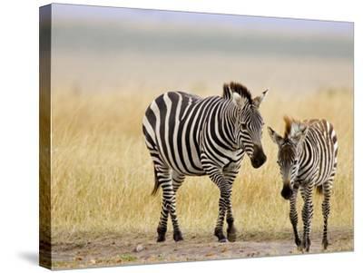Zebra and Juvenile Zebra on the Maasai Mara, Kenya-Joe Restuccia III-Stretched Canvas Print