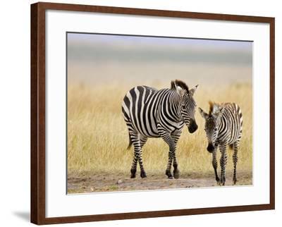 Zebra and Juvenile Zebra on the Maasai Mara, Kenya-Joe Restuccia III-Framed Photographic Print