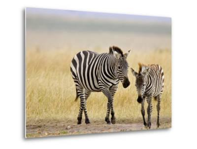 Zebra and Juvenile Zebra on the Maasai Mara, Kenya-Joe Restuccia III-Metal Print