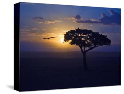 Early Sunrise on Vulture Gliding in Silhouetted Tree of the Maasai Mara, Kenya-Joe Restuccia III-Stretched Canvas Print