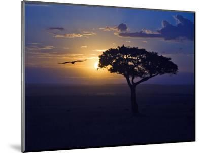Early Sunrise on Vulture Gliding in Silhouetted Tree of the Maasai Mara, Kenya-Joe Restuccia III-Mounted Photographic Print