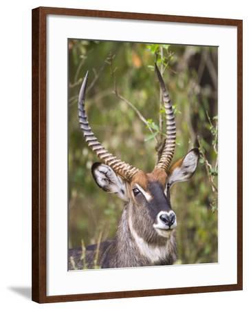 Male Water Buck, Maasai Mara, Kenya-Joe Restuccia III-Framed Photographic Print