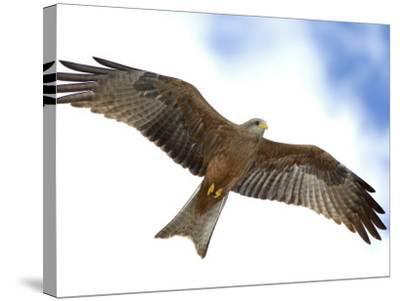 Yellow-Billed Kite in Flight with Full Wingspread-Arthur Morris-Stretched Canvas Print