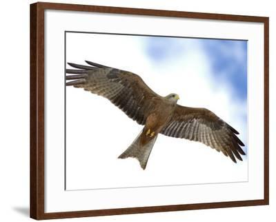 Yellow-Billed Kite in Flight with Full Wingspread-Arthur Morris-Framed Photographic Print