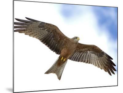 Yellow-Billed Kite in Flight with Full Wingspread-Arthur Morris-Mounted Photographic Print