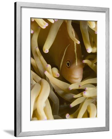 Pink Anemonefish, Banda Sea, Indonesia-Stuart Westmoreland-Framed Photographic Print