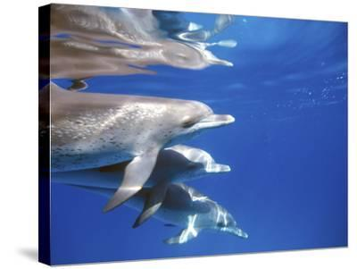 Atlantic Spotted Dolphins, Bimini, Bahamas-Greg Johnston-Stretched Canvas Print