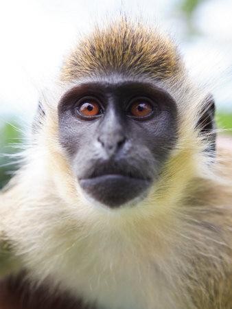 Green Ververt Monkey, St. Kitts, Caribbean-Greg Johnston-Framed Photographic Print