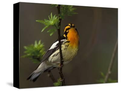 Male Blackburnian Warbler in Breeding Plumage, Pt. Pelee National Park, Ontario, Canada-Arthur Morris-Stretched Canvas Print