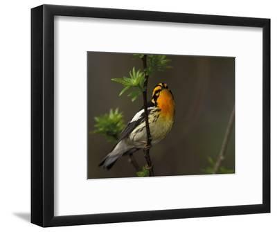 Male Blackburnian Warbler in Breeding Plumage, Pt. Pelee National Park, Ontario, Canada-Arthur Morris-Framed Photographic Print