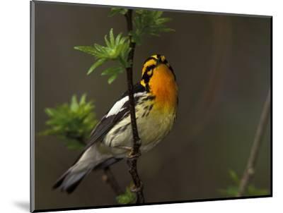 Male Blackburnian Warbler in Breeding Plumage, Pt. Pelee National Park, Ontario, Canada-Arthur Morris-Mounted Photographic Print