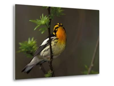 Male Blackburnian Warbler in Breeding Plumage, Pt. Pelee National Park, Ontario, Canada-Arthur Morris-Metal Print