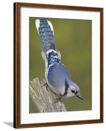 Close-up of Blue Jay on Dead Tree Limb, Rondeau Provincial Park, Ontario, Canada-Arthur Morris-Framed Photographic Print