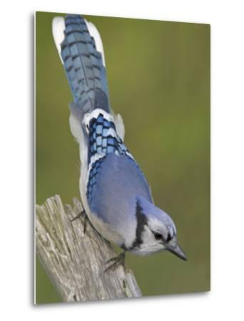 Close-up of Blue Jay on Dead Tree Limb, Rondeau Provincial Park, Ontario, Canada-Arthur Morris-Metal Print