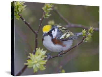 Close-up of Male Chestnut-Sided Warbler on Tree Limb,  Pt. Pelee National Park, Ontario, Canada-Arthur Morris-Stretched Canvas Print