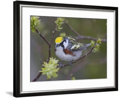 Close-up of Male Chestnut-Sided Warbler on Tree Limb,  Pt. Pelee National Park, Ontario, Canada-Arthur Morris-Framed Photographic Print