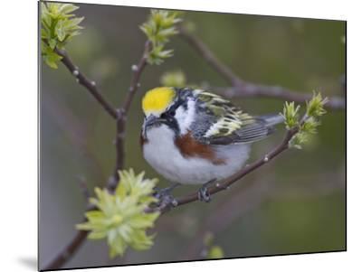 Close-up of Male Chestnut-Sided Warbler on Tree Limb,  Pt. Pelee National Park, Ontario, Canada-Arthur Morris-Mounted Photographic Print