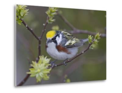 Close-up of Male Chestnut-Sided Warbler on Tree Limb,  Pt. Pelee National Park, Ontario, Canada-Arthur Morris-Metal Print