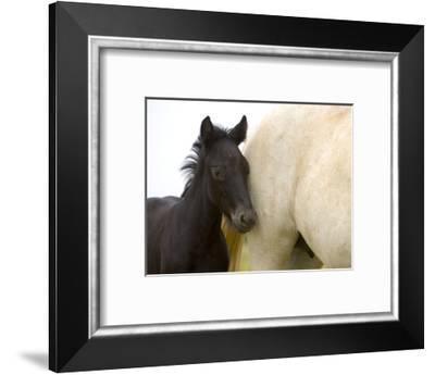 Detail of White Camargue Mother Horse and Black Colt, Provence Region, France-Jim Zuckerman-Framed Photographic Print