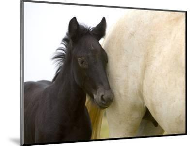 Detail of White Camargue Mother Horse and Black Colt, Provence Region, France-Jim Zuckerman-Mounted Photographic Print