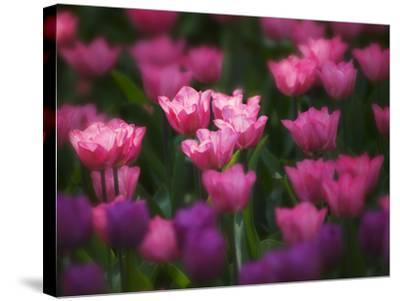Tulips in Keukenhof Gardens, Amsterdam, Netherlands-Keren Su-Stretched Canvas Print