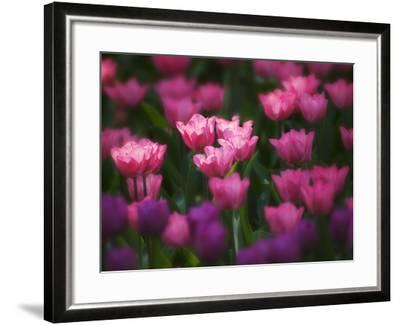 Tulips in Keukenhof Gardens, Amsterdam, Netherlands-Keren Su-Framed Photographic Print