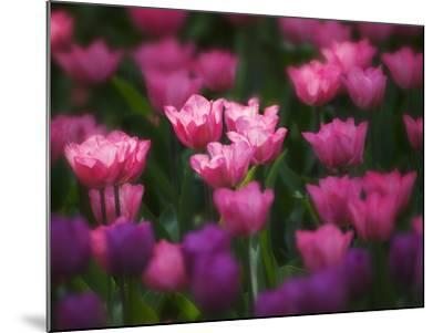 Tulips in Keukenhof Gardens, Amsterdam, Netherlands-Keren Su-Mounted Photographic Print