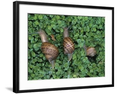 Snails Crawling Through Duckweed-Nancy Rotenberg-Framed Photographic Print