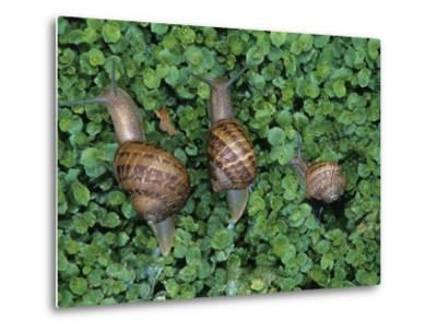 Snails Crawling Through Duckweed-Nancy Rotenberg-Metal Print