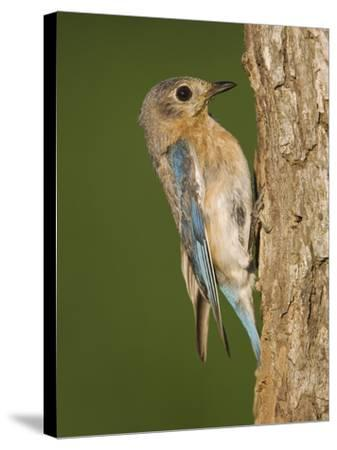 Eastern Bluebird at Nesting Cavity, Willacy County, Rio Grande Valley, Texas, USA-Rolf Nussbaumer-Stretched Canvas Print