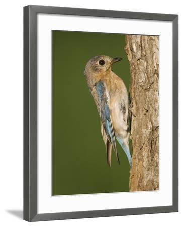 Eastern Bluebird at Nesting Cavity, Willacy County, Rio Grande Valley, Texas, USA-Rolf Nussbaumer-Framed Photographic Print