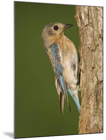 Eastern Bluebird at Nesting Cavity, Willacy County, Rio Grande Valley, Texas, USA-Rolf Nussbaumer-Mounted Photographic Print