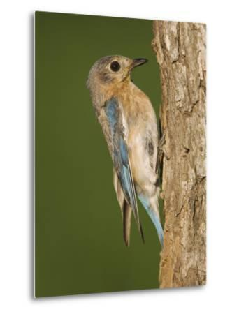 Eastern Bluebird at Nesting Cavity, Willacy County, Rio Grande Valley, Texas, USA-Rolf Nussbaumer-Metal Print
