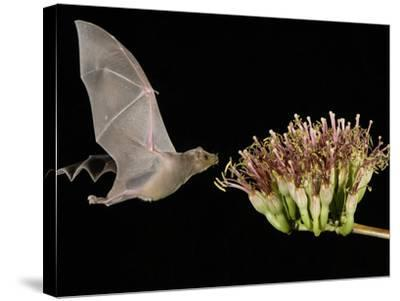 Lesser Long-Nosed Bat in Flight Feeding on Agave Blossom, Tuscon, Arizona, USA-Rolf Nussbaumer-Stretched Canvas Print