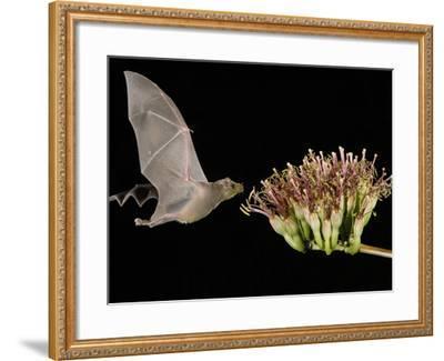 Lesser Long-Nosed Bat in Flight Feeding on Agave Blossom, Tuscon, Arizona, USA-Rolf Nussbaumer-Framed Photographic Print