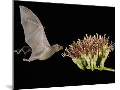 Lesser Long-Nosed Bat in Flight Feeding on Agave Blossom, Tuscon, Arizona, USA-Rolf Nussbaumer-Mounted Photographic Print