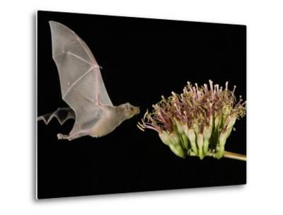Lesser Long-Nosed Bat in Flight Feeding on Agave Blossom, Tuscon, Arizona, USA-Rolf Nussbaumer-Metal Print