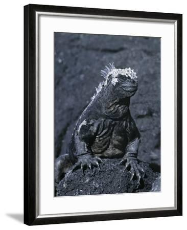 Detail of Marine Iguana on Volcanic Rock, Galapagos Islands, Ecuador-Jim Zuckerman-Framed Photographic Print