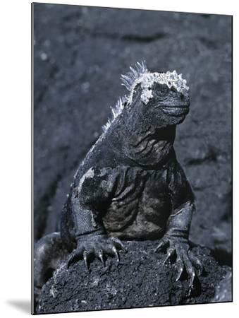 Detail of Marine Iguana on Volcanic Rock, Galapagos Islands, Ecuador-Jim Zuckerman-Mounted Photographic Print