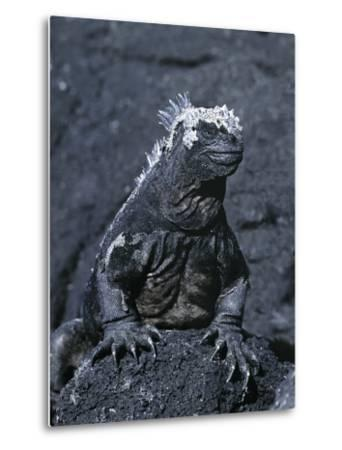 Detail of Marine Iguana on Volcanic Rock, Galapagos Islands, Ecuador-Jim Zuckerman-Metal Print