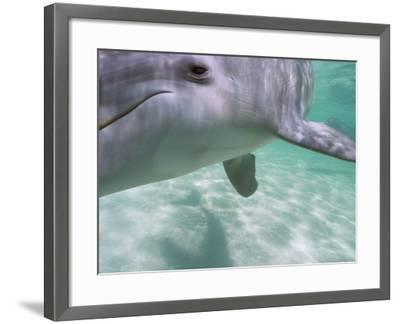 Bottlenose Dolphins, Caribbean Sea Near Roatan, Honduras-Stuart Westmoreland-Framed Photographic Print