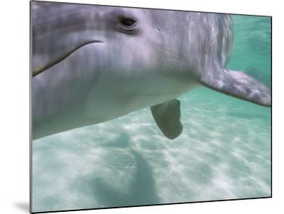 Bottlenose Dolphins, Caribbean Sea Near Roatan, Honduras-Stuart Westmoreland-Mounted Photographic Print