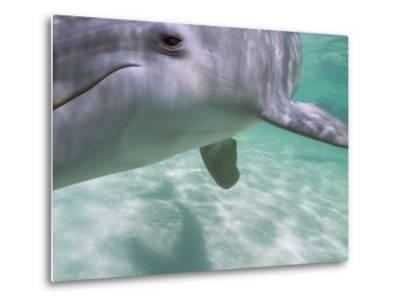 Bottlenose Dolphins, Caribbean Sea Near Roatan, Honduras-Stuart Westmoreland-Metal Print