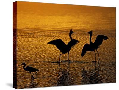 Silhouettes of Reddish Egrets Conduct Mating Dance in Gold-Colored Water-Arthur Morris-Stretched Canvas Print