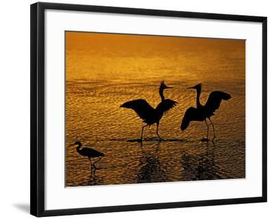 Silhouettes of Reddish Egrets Conduct Mating Dance in Gold-Colored Water-Arthur Morris-Framed Photographic Print